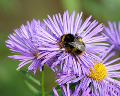 Hug a flower... (SteveJM2009) Tags: uk november autumn light sun colour detail wings hug focus dof feeding bokeh hampshire bee pollen bumble aster stevemaskell mottisfont hants 2011 michaelmasdaisy naturethroughthelens