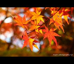 ( ()) Tags: japan maple bokeh olympus  zuiko e30  1454