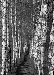 The Birch Alle (Steffe) Tags: autumn trees bw fall monochrome sweden bokeh haninge handen birches silverbirch monochome sderby treelinedavenue birchalley thebirchalle