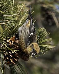 Lady White-winged (martytdx) Tags: birds female birding january nj longbranch sevenpresidentspark coldashell whitewingedcrossbill loxialeucoptera loxia crossbills fingillidae