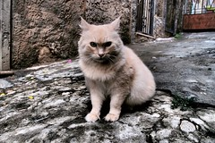 The Neighbour's Cat (Prince Amedeo) Tags: santa cat di teresa neighbour cagliari casteddu scalette