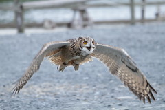 Give me that foooood!! (Takashi(aes256)) Tags: owl shizuoka kakegawa kachoen     canonef70200mmf4lisusm rockeagleowl canoneos7d