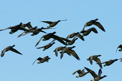 Brent geese group... (SteveJM2009) Tags: november autumn light sky sun colour detail flying geese wings group flight shapes goose brent brant skein stevemaskell 2011 brantabernicia naturethroughthelens
