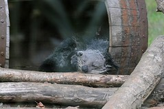 Binturong im Zoo de Trgomeur (Ulli J.) Tags: france zoo frankreich bretagne binturong asianbearcat marderbr trgomeur ctesdarmor