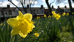 Daffodils - GWR Park, Farringdon Road, Swindon (TempusVolat) Tags: cameraphone road park flowers houses blur flower nature yellow mobile zeiss season geotagged nokia spring interesting flora flickr phone image wildlife 28mm swindon picture wideangle petal daffodil mobilephone getty gw gareth f28 farringdon daffodils n8 springtime tempus gwr carlzeiss nseries nokianseries 12mp bokehish nokian8 volat wonfor mrmorodo garethwonfor tempusvolat