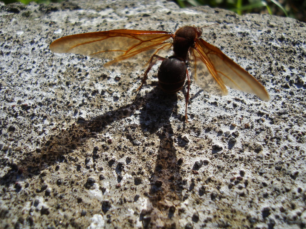 Sompopo Ants Wwwtollebildcom