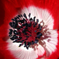 macro_anemone (SS) Tags: camera light shadow red italy sun white black flower macro nature beautiful composition contrast canon garden photography countryside focus colorful glow shadows view angle pov walk year perspective powershot framing fiore bianco nero marche fabriano blooming natureselegantshots a480 fleursetpaysages