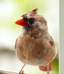 Harassed Mama Bird (wisely-chosen) Tags: wild bird cardinal september cameraraw 2011 canonef70300mmf456isusmlens adobephotoshopcs5extended