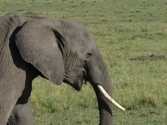 Elephants in Masai Mara (Carlos Affonso) Tags: africa kenya safari masai maasai savanna masaimara maasaimara savana qunia
