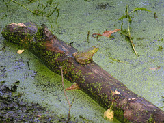 Frog on a log (jere7my) Tags: cemetery graveyard pond amphibian frog algae greenfrog duckweed bullfrog mountauburncemetery