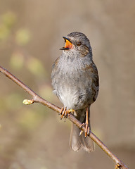 Dunnock Song (Andrew Haynes Wildlife Images) Tags: bird nature wildlife dunnock worcestershire uptonwarren ajh2008