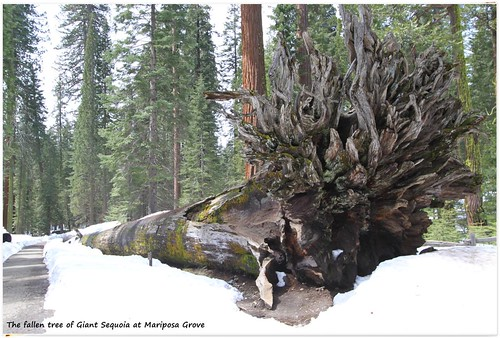 Big trunk of Giant Sequoia at Yosemite National Park, California