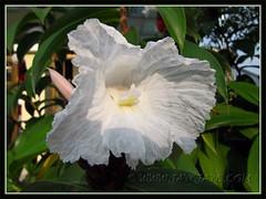 Cheilocostus speciosus; syn: Costus speciosus (Crepe Ginger, White Costus, Cane Reed, Spiral Flag)