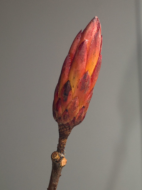 NOID Protea - Dried