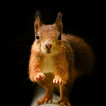 Red Squirrel - On The Run