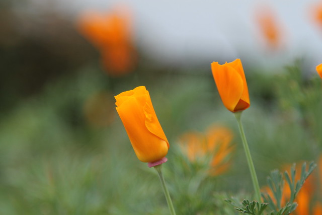 0285 orange flowers