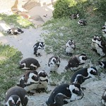 "African Penguins <a style=""margin-left:10px; font-size:0.8em;"" href=""http://www.flickr.com/photos/14315427@N00/6273373802/"" target=""_blank"">@flickr</a>"