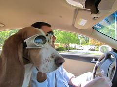 Fort Morgan (FranklinHouse) Tags: dog car hound bassethound doggles