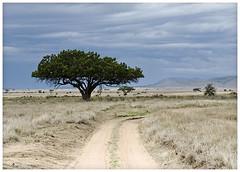 Serengeti (Blinkofanaye) Tags: africa tanzania east plains migration serengeti masai endless kigeliaafricana maasailand
