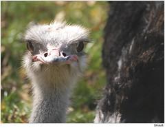 Strauß (to.wi) Tags: bird vogel wilhelma straus towi