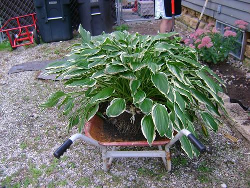 Massive Hosta Plant