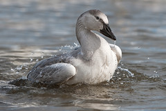 Oie des neiges / Snow Goose (lululemay) Tags: snow bird goose oiseau lemay lucien neiges oie snowgoose oiesdesneiges po07 lululemay