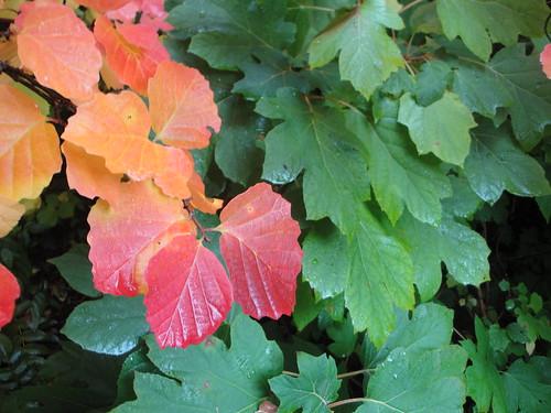Fothergilla and oakleaf hydrangea 1