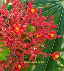Jatropha multifida (Kelley Macdonald) Tags: seedpod redflowers euphorbiaceae jatropha coralplant jatrophamultifida physicnut naplesbotanicalgarden guatemalarhubarb coralbush