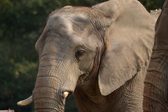 (tomosuke214) Tags: elephant zoo africanelephant     tobuzoo