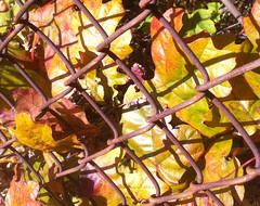 Oak Leaves and Chain Link Fence by randubnick
