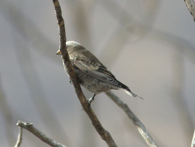Gray-crowned Rosy-Finch band 20111112