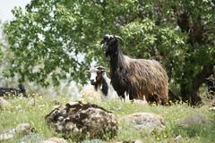 Get (kezwan) Tags: get animal kurdistan kezwan