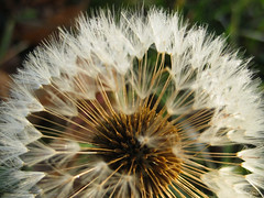 Dandelion Fairy - Pissenlit ferique (monteregina) Tags: flowers plants white canada abstract macro texture nature closeup fleurs design weeds pattern geometry details natur blossoms shapes puff center dandelion seeds sparkle seedhead qubec wildflowers abstraction pollen plantae puffy blanc flowerhead pissenlit nuisance abstrait samen taraxacum makeawish dientedelen lwenzahn pusteblume dentdelion parachutes fleurssauvages blmen dandelionseedhead aknes semences fillframe taraxacumofficinalis aigrettes monteregina astraces composes parachuteball dandelionstars