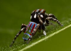 Maratus volans (mj_stevo) Tags: macro slr nature canon lens photography eos spider photo jumping arachnid flash australia brisbane explore queensland dslr entomology arachnology salticid mpe65 salticidae maratus canon550d mjstevo