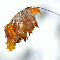 maple (Mustekala5) Tags: morning autumn nature leaf maple nikon bokeh decay falling soon d5000