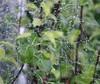 Web Droplets (Bury Gardener) Tags: november autumn nature wet garden web damp