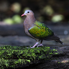 Emerald Dove (Green-winged Pigeon) (somchai@2008) Tags: emeralddove chalcophapsindica greenwingedpigeon