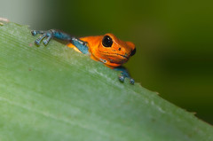 Hello there! (Supervliegzus) Tags: hello macro nikon frog there oliemeulen strawberrypoisondartfrog