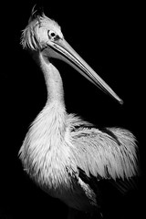 pelican b&w (pattoise) Tags: autofocus wow1 wow2 wow3 wow4 wow5 doubleniceshot tripleniceshot mygearandme mygearandmepremium mygearandmebronze mygearandmesilver mygearandmegold mygearandmeplatinum mygearandmediamond aboveandbeyondlevel4 musictomyeyeslevel1 aboveandbeyondlevel1 flickrstruereflection1 flickrstruereflection2 flickrstruereflection3 flickrstruereflection4 flickrstruereflection5 flickrstruereflection6 aboveandbeyondlevel2 aboveandbeyondlevel3