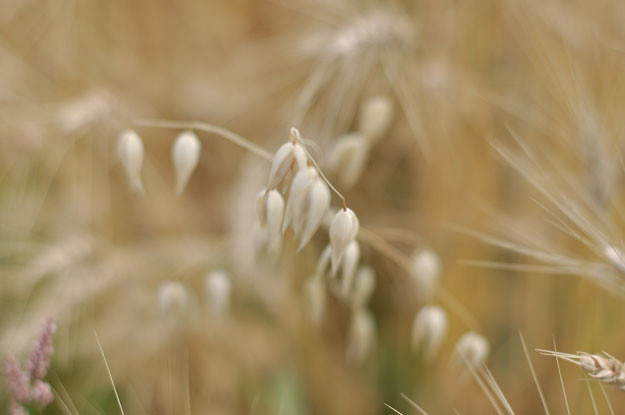 wheat-up-close