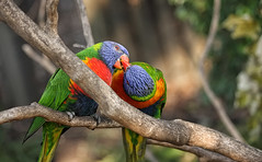 A Tender Moment (JimbobEdsel) Tags: birds lorikeets exoticbirds zoobirds