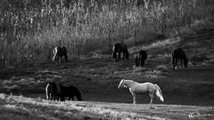 Standing out from the crowd (rwalstrom) Tags: horses blackandwhite horse white field grass minnesota animals sunrise corn nikon alone different farm country farming pasture solo crops prairie mn stallion outcast
