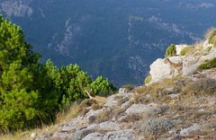 surprise (Marlis1) Tags: animal mammals castellon ibex steinbock capraibex caprahispanica tinençadebenifassà