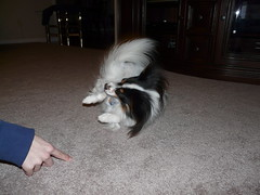 """roll over"" (steews4) Tags: dog pet ripley tricks papillon teach rollover pettricks"