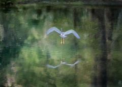 I'll Fly Away (Delany Dean) Tags: littleblueheron distressedjewell magicunicornverybest sailsevenseas