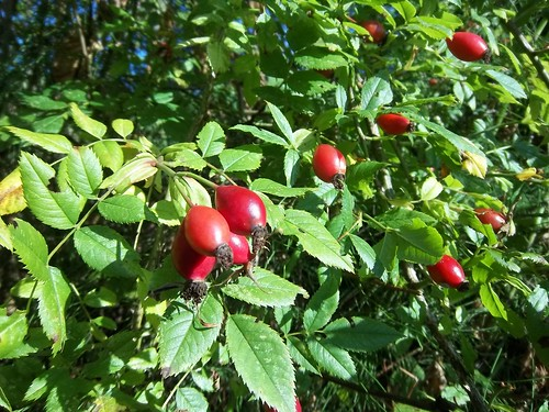 Wild rose hips 10.16.11