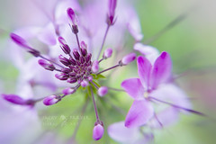 Lilac Spider Flower (Jacky Parker Floral Art) Tags: plant flower macro nature horizontal closeup landscape spider flora purple creative lilac bloom softfocus orientation excellence cleome
