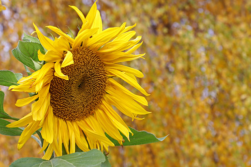 An Autumn Sunflower  ~Explored~