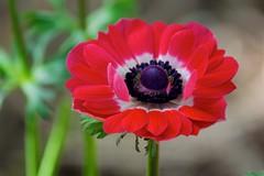 In the red (Deb Jones1) Tags: flowers red flower macro nature beauty canon garden outdoors 1 jones flora explore blooms deb flickrduel debjones1