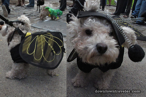 Tompkins Park Halloween Dog Parade_Dog in bumblebee costume